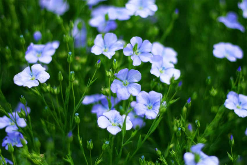 Flax seed flower