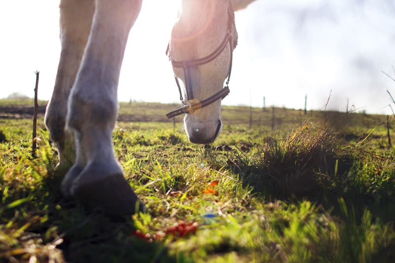 Supplement your horses diet with the Omega-3 in PureFlax flax seed oil