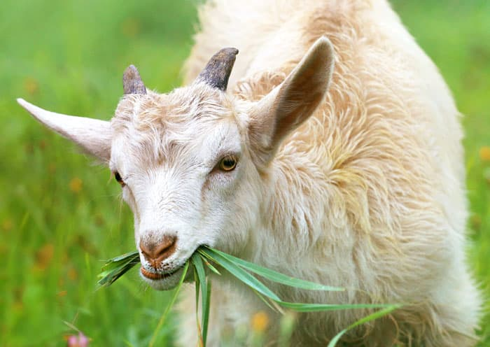 Increase your goats Omega-3 intake with PureFlax natural flax seed oil