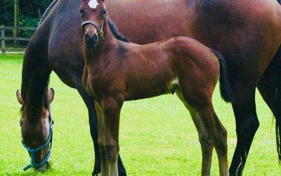 The Benefits of Premium British Linseed/Flax for Mares, Foals & Young Stock.